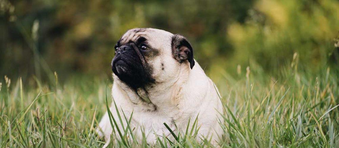 fat-dog-pug